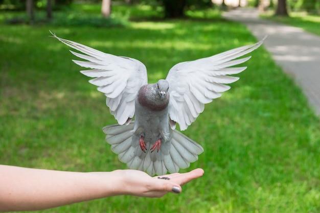 飛行中の鳩