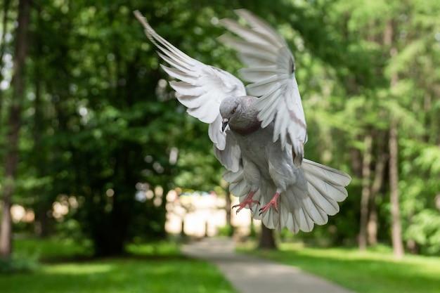 飛行中のハト