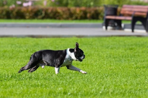 ブルドッグは芝生で遊ぶ