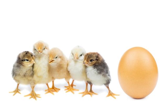白い背景の上の鶏の卵