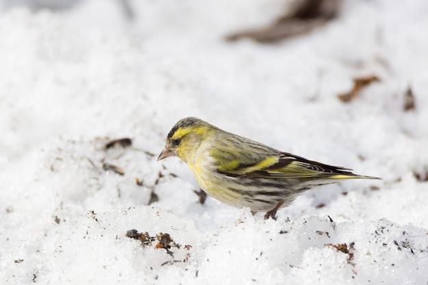 雪の中でシスキン