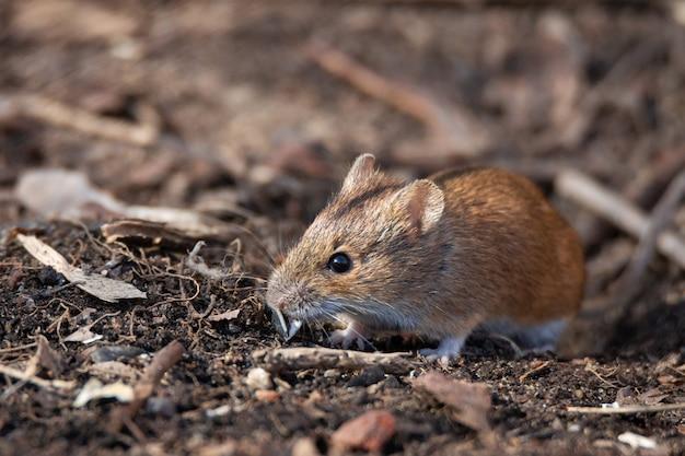 Полосатая полевая мышь