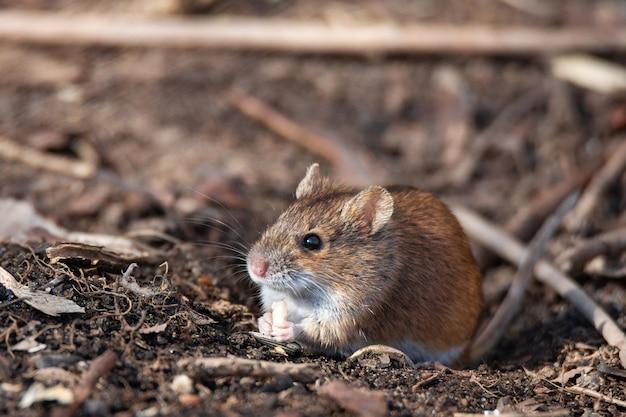 ストライプフィールドマウス