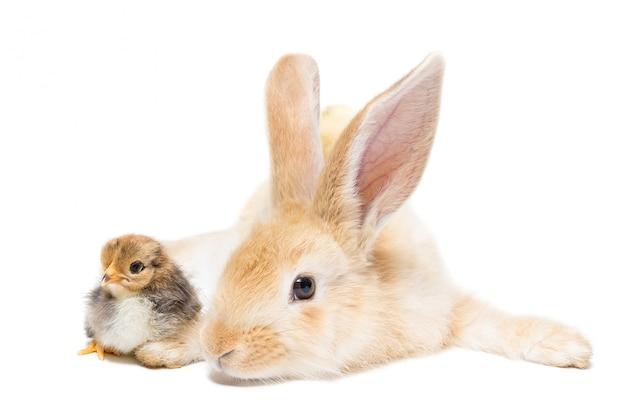 ウサギとチキン