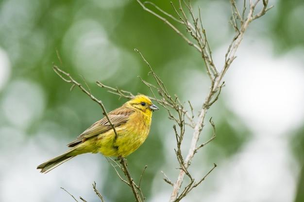 枝に黄色の鳥