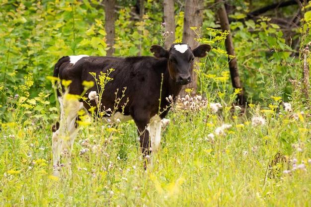 牧草地の牛の子牛