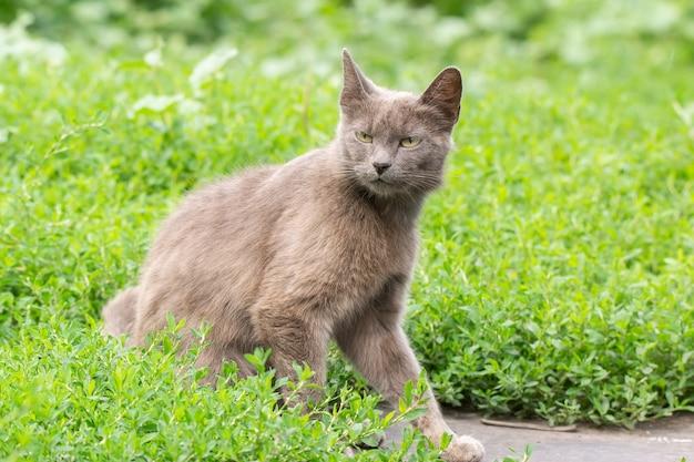 草の上の灰色の猫
