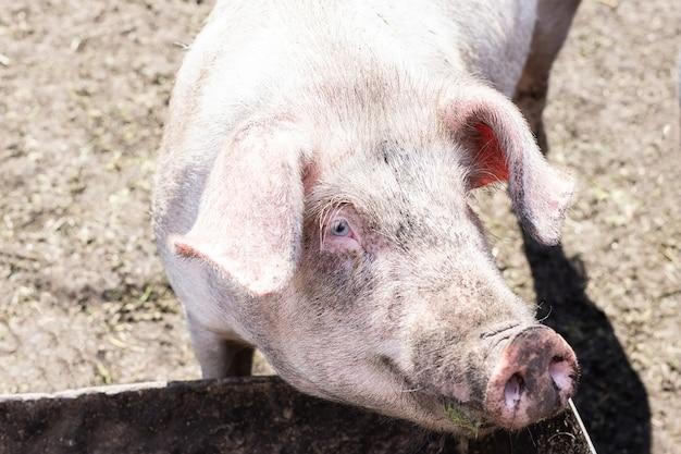 泥の中のピンクの豚