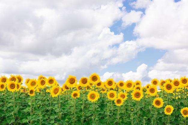 ひまわり畑の風景