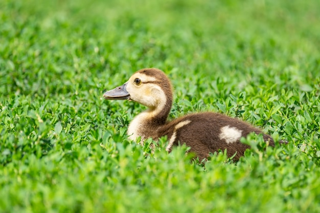 草の上のアヒルの子