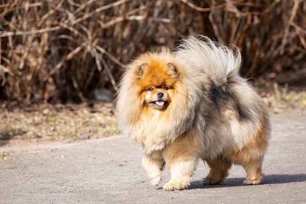 犬のペットチャウチャウ