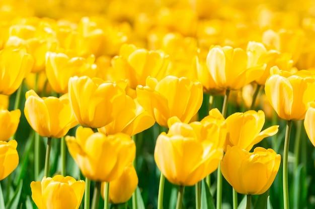 Желтые тюльпаны крупным планом фон