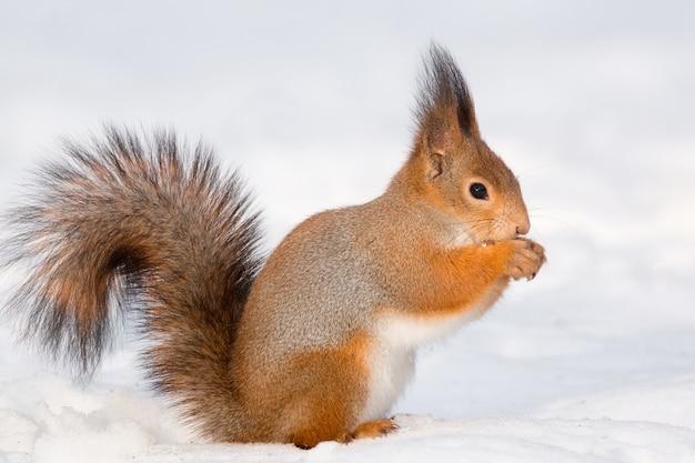 雪の中でリス