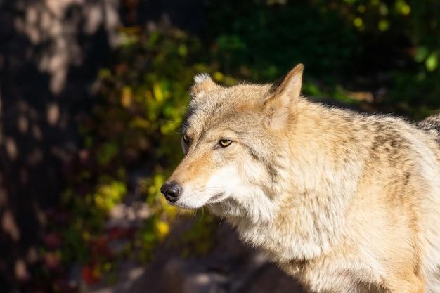 森の中のオオカミ