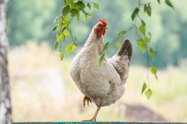 Цыпленок на заборе