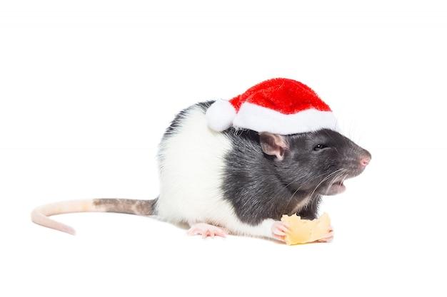 Крыса на белом фоне