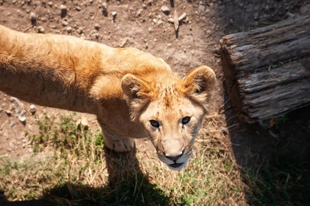 Молодой львенок дикий