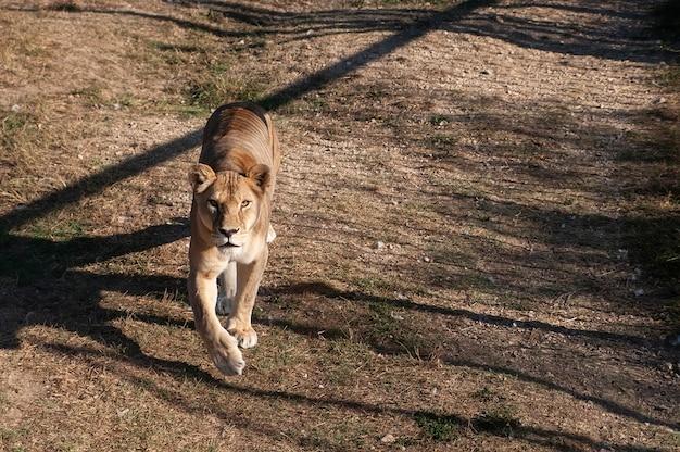 Львица на траве