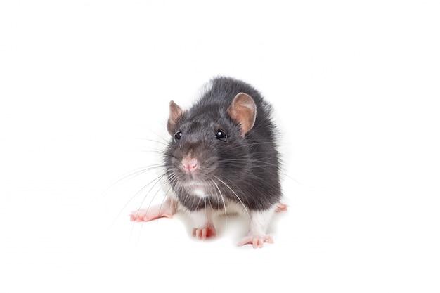 分離されたかわいいマウスまたはラット