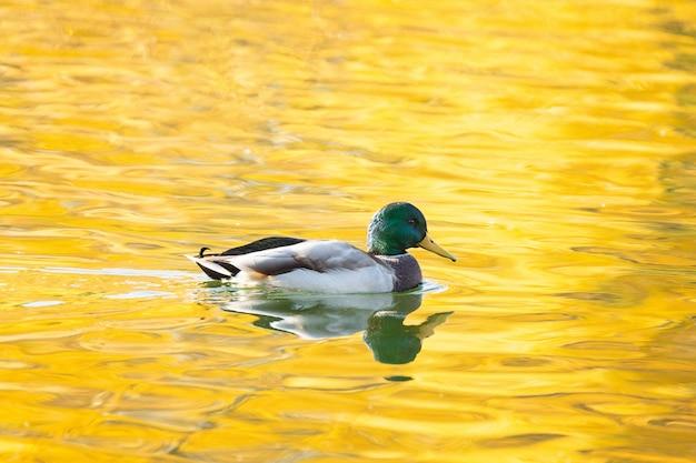 秋の池のアヒル