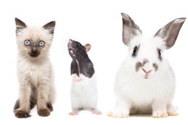 Милый котенок, кролик и крыса позируют изолированно