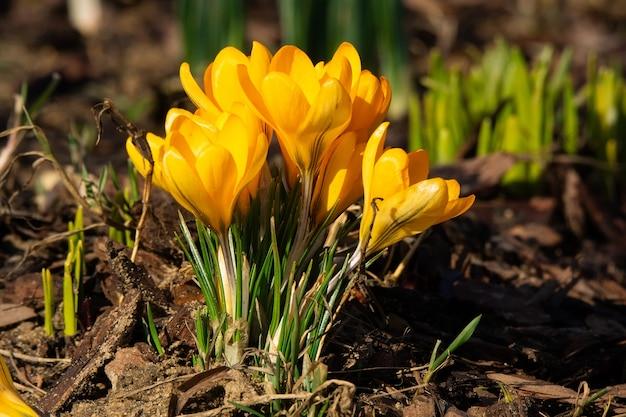 Весенний цветок крокус.