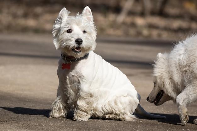 Самоедская собака в парке.