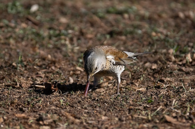 Крупным планом на дрозда рябины едят червя