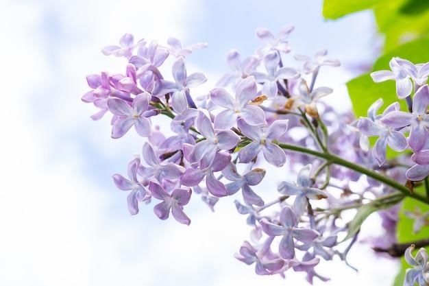 開花の香りのよいライラックの春枝