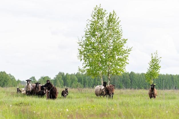 子羊と羊の草の上にクローズアップ