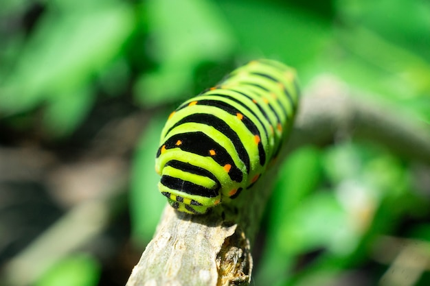 ライラックの葉の上の青虫