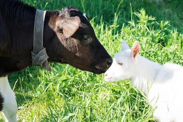 子牛と山羊