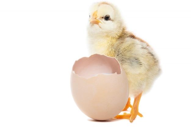 Цыпленок вылупился из скорлупы