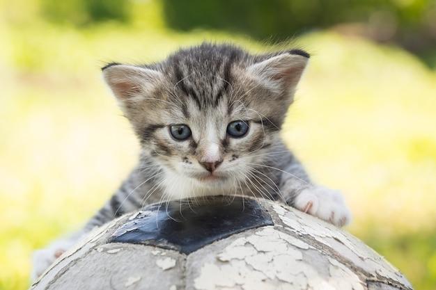 サッカーボールの子猫