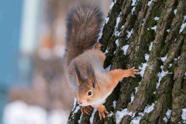 冬の木にリスします。