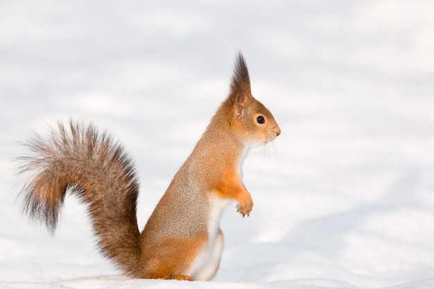 雪の中でリスします。