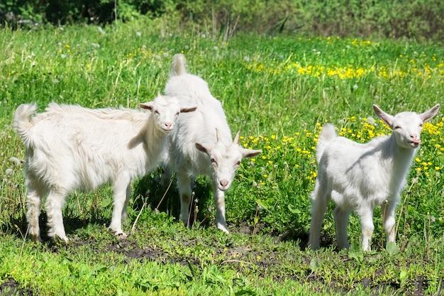 草の上のヤギ