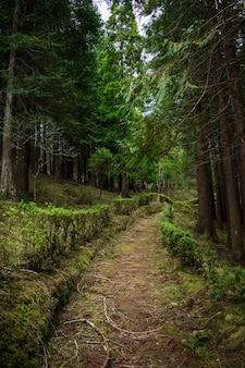 サンミゲル、アゾレス諸島、ポルトガルの森。高い木々。