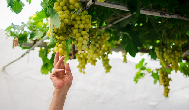 収穫中に緑のブドウの束を持っている手