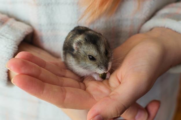 Милый хомяк домашнее животное ест на руке владельца.