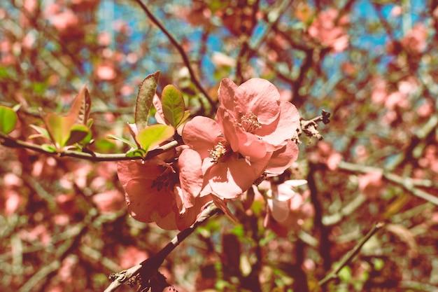 緋色のマルメロの背景。日本の計画の小さな赤い花。