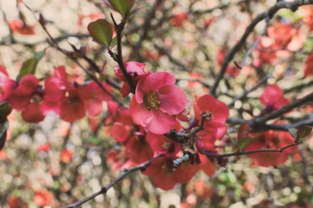 日本の緋色のマルメロの木枝に小さな赤い花