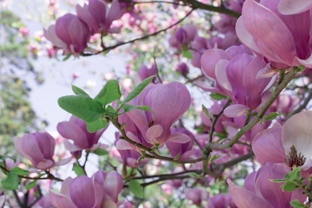 モクレンの花の木と美しい夏やイースターの背景