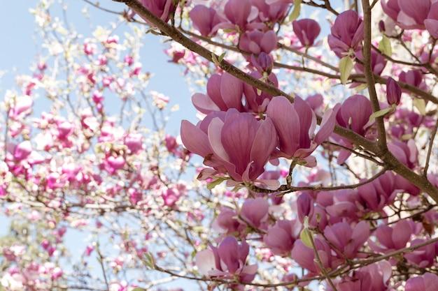 花の背景のマグノリアの花の木