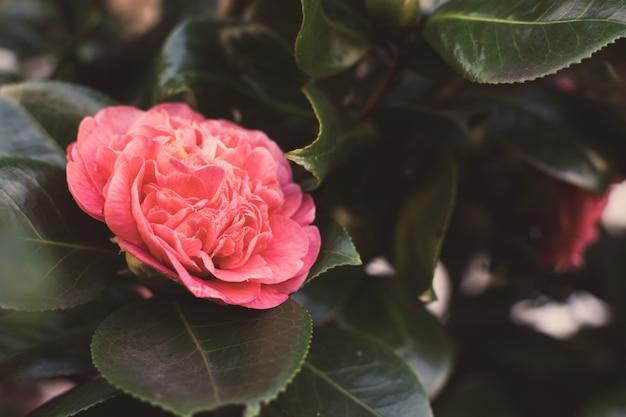 枝にピンクの椿。冬と春の花の木。