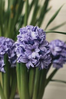 自宅でモーブブルーヒヤシンスの花