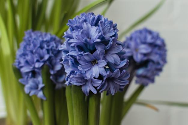 青の多くのヒヤシンスの花