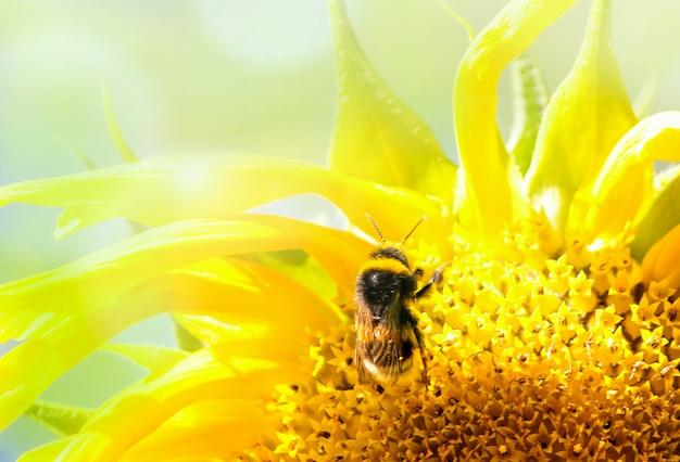 Пчела на цветке в подсолнухе.