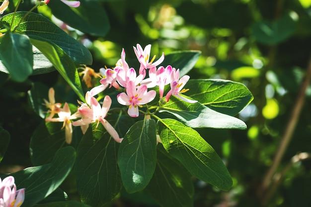 Маленькие светло-розовые цветы и бутоны на цветущих лиственных кустарниках в весеннем саду