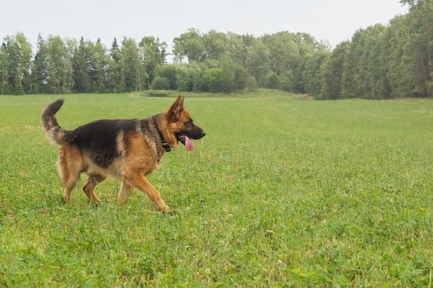 夏の日に公園の芝生の上で休んで歩いてジャーマン・シェパード